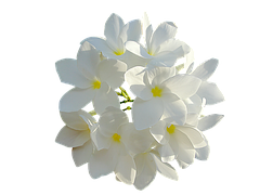 white-flowers-849770__180